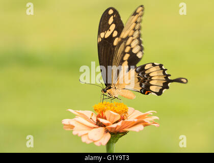 Schöne Riesen Schwalbenschwanz Schmetterling auf eine blasse orange Zinnie mit grünem Hintergrund - Stockfoto