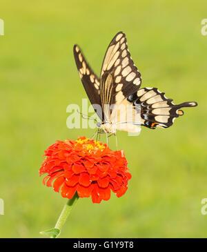 Riesige Schwalbenschwanz Schmetterling Papilio Cresphontes auf eine orange Zinnie - Stockfoto