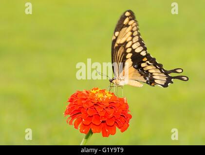 Riesige Schwalbenschwanz Schmetterling auf einer orange Zinnie - Stockfoto