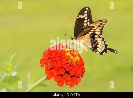 Riesige Schwalbenschwanz Schmetterling Fütterung auf eine orange Zinnia Blume, mit Sommer grün Hintergrund - Stockfoto