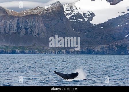 Buckelwal, Impressionen Novaeangliae aus Weddell Point, Südgeorgien, Januar - Stockfoto