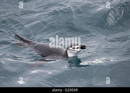 Kinnriemen Pinguin Pygoscelis Antarcticus aus Süd-Georgien - Stockfoto