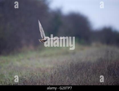 Short-eared Eule Asio Flammeus Kettlestone Norfolk - Stockfoto
