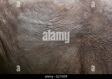 Indischer Elefant (Elephas Maximus Indicus). Textur der Haut. Tierwelt Tier. - Stockfoto