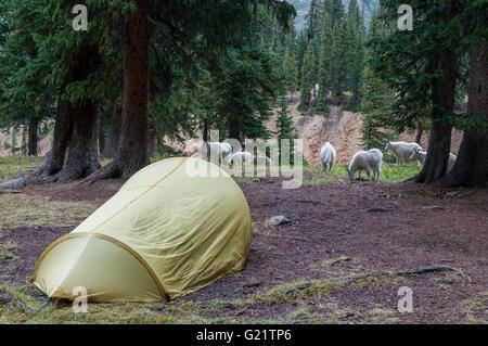Bergziegen in Camp, Chicago-Becken, Columbine Pass Trail, Weminuche Wilderness Area, San Juan National Forest, Colorado. - Stockfoto