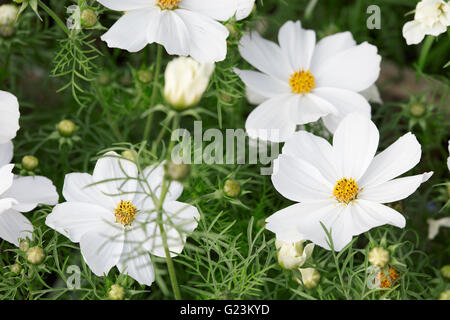 Weiße Blumen Garten Kosmos, Cosmos Bipinnatus Hintergrund Stockfoto ...