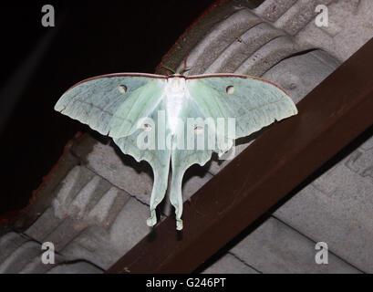 Die indische Mondmotte oder indischen Luna Moth (Actias Selene) ist eine Art von Saturniid Motte aus Asien. Erschossen - Stockfoto