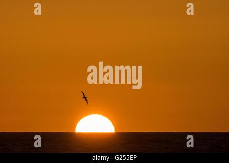 Schwarz-entlüftet Shearwater fliegen über die Sonne in der Abenddämmerung Pazifik, Baja California, Mexiko - Stockfoto