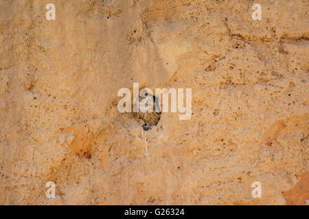 Steinkauz, Athene Noctua Kommissionierung aus Burrow - Stockfoto