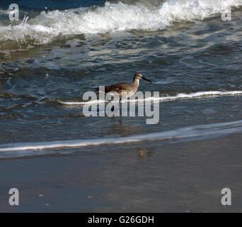 Ein Flussuferläufer, waten am Ufer des Apollo Beach, Merritt Insel, Florida. - Stockfoto