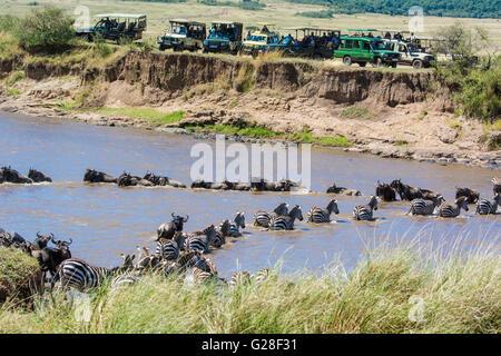 Burchell Zebras, Equus Quagga und Gnus, Connochaetes Taurinus, Überquerung des Mara Flusses mit Touristen versammelt um zu sehen. Stockfoto
