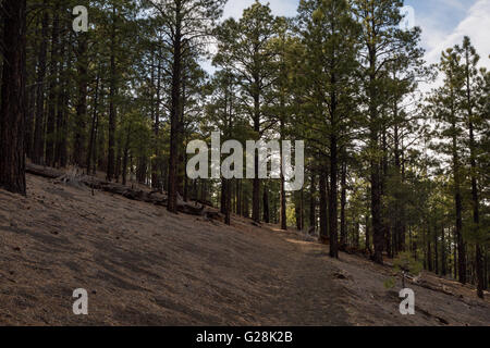 Die Lenox Crater Trail aufsteigend durch Ponderosa-Kiefern. Sunset Crater National Monument, Arizona - Stockfoto