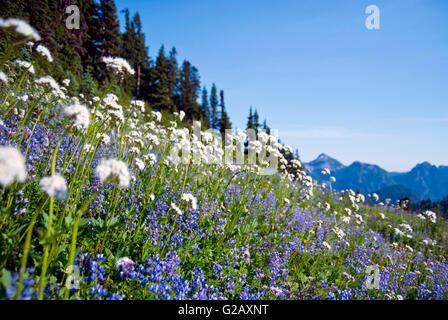Sitka Baldrian, amerikanischen Bistort und Lupine in Mount Rainier, USA - Stockfoto
