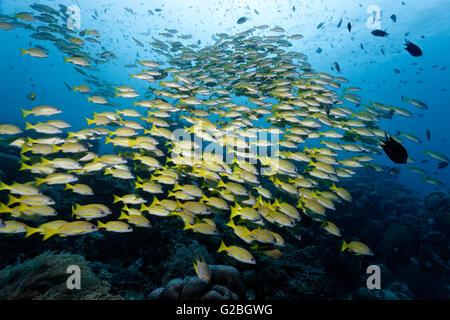 Große Fische blau Schnapper (Lutjanus Kasmira) über Coral reef, Great Barrier Reef, Queensland, Cairns, Pazifik, Australien