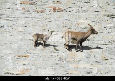 Alpine Steinböcke (Capra Ibex), Provinz Verbano-Cusio-Ossola, Italien - Stockfoto