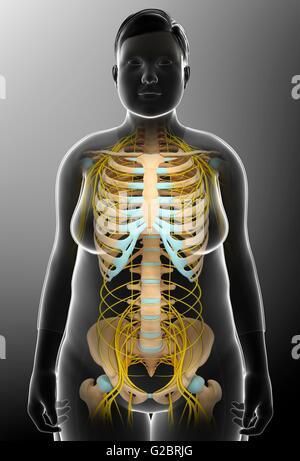Anatomie Skelett Skelett-Systems und Nerven im Körper ...