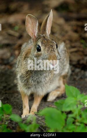 Östlichen Cottontail Kaninchen - Stockfoto