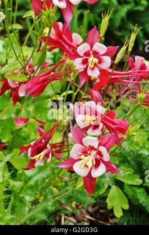 Rote und weiße Origami Columbine Blume (Aquilegia Stockfoto, Bild ...