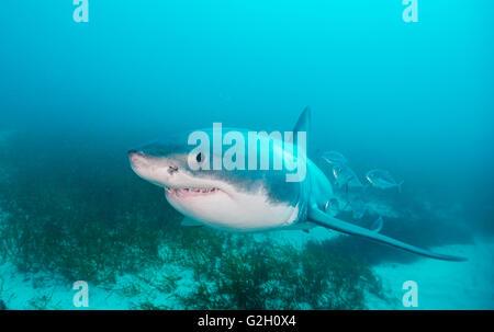 Der weiße Hai, Carcharodon Carcharias, Unterwasser-Blick auf Neptune Islands, South Australia. - Stockfoto