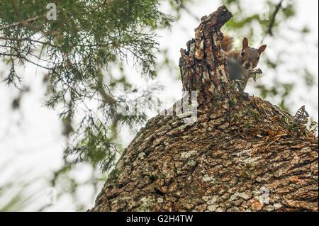 Baum-Eichhörnchen spähen hinter einem gebrochenen Ast in St. Augustine, Florida, USA. - Stockfoto