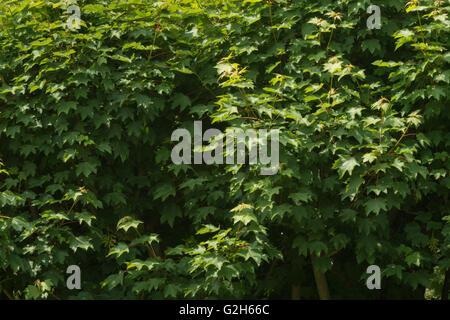 Details der kleinen zarten Blätter der Platane mit vielen Spitzen schwingen lässt - Stockfoto