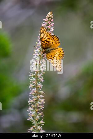 Ein buntes Fritillary Schmetterling (Euptoieta Claudia) Fütterung auf wilde Blume. Texas Hill Country, USA.