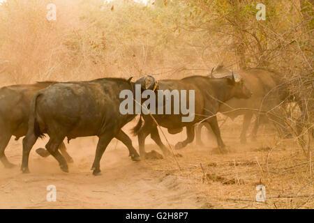 Herde von afrikanischer Büffel quer über eine unbefestigte Straße, aufwirbeln von Staub, in Lower Zambezi National - Stockfoto