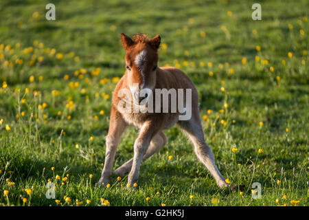 Southport, Merseyside, UK: 31. Mai 2016. Diese Gangly neu geborene Junge palomino Creme Shetland pony, die bei der - Stockfoto