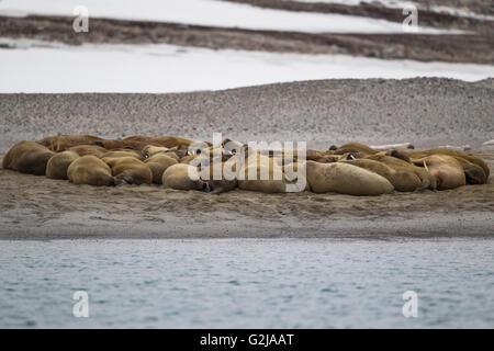 Walross, Odobenus Rosmarus Gruppe am Strand, Spitzbergen, Norwegen - Stockfoto