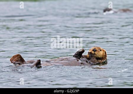 Sea Otter Enhydra Lutris gehört Wiesel-Familie der Westküste Nord Vancouver Island in British Columbia Kanada fotografiert. - Stockfoto