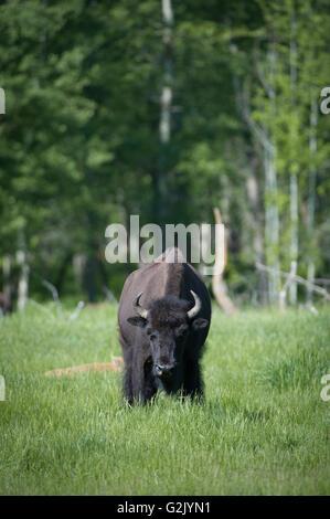 Bison Bison, Bisons, Alberta, Kanada - Stockfoto