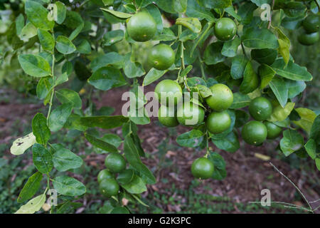 Grüne Linde hängen von den Zweigen davon. - Stockfoto