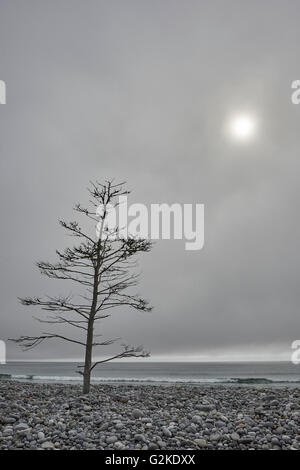 Einsamer Baum an einem steinigen Strand, Weißpunkt, Nova Scotia, Kanada - Stockfoto