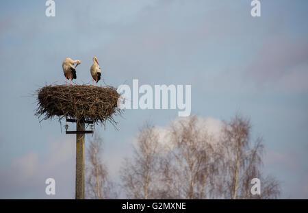 Paar Störche stehen im Nest auf der elektrischen Pole - Stockfoto