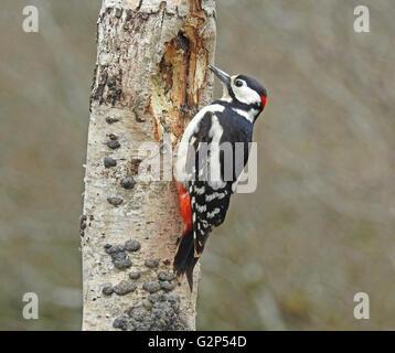Great spotted Woodpecker männlich Fütterung aus dem Stamm einer Birke Silber - Stockfoto