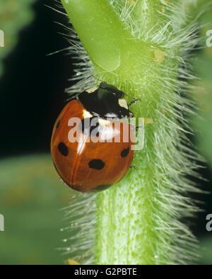 Eine sieben Marienkäfer Coccinella Septumpunctata auf einem behaarten Stiel mit einigen Blattlaus Beute entdeckt - Stockfoto