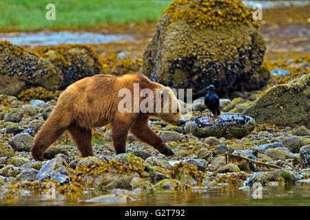 Coastal Grizzly Bär und Rabe, Nahrungssuche bei Ebbe auf dem Festland British Columbia in Kanada - Stockfoto