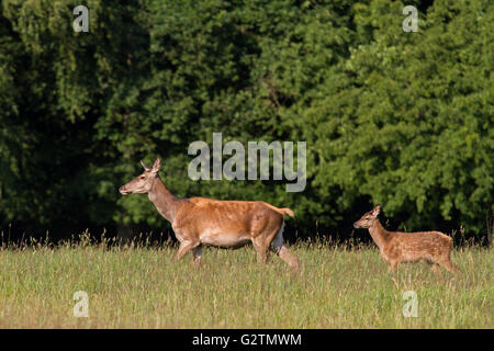 Red Deer (Cervus elaphus), doe und fawn Wandern, Waldrand, Dänemark - Stockfoto