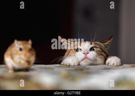 Katze spielt mit Wüstenrennmaus Mäuschen auf dem Tisch.  Russland. - Stockfoto