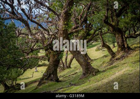 Auch alte Wälder und beliebte Wanderwege vor Ort auf der Insel Madeira - Stockfoto
