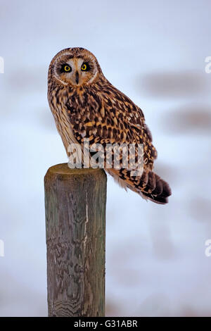 Short Eared Owl sitzen auf Zaunpfosten, im Winter, Jagd. (Asio Flammeus). - Stockfoto