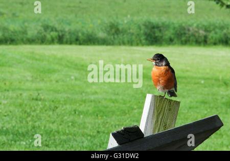 Robin thront auf einem Pfosten mit einer grünen Rasen Wiese im Hintergrund - Stockfoto