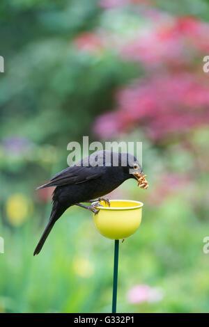 Turdus Merula. Amsel fressen Mehlwürmer aus einer Farbe Tassen Vogelhäuschen - Stockfoto