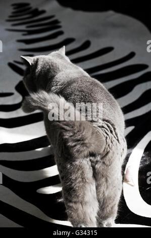 Lauert britische blaue Katze über Zebra Haut Rug schlängelt sich - Stockfoto
