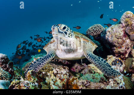 Green Sea Turtle, Chelonia Mydas, Komodo National Park, Indonesien - Stockfoto