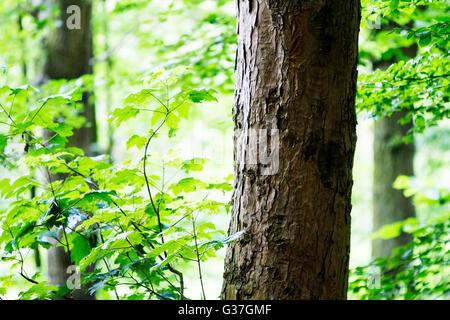 Nahaufnahme von einem Ahorn Baum in einem Wald bei Sankey Valley Park, Bewsey, Warrington, Cheshire, England - Stockfoto