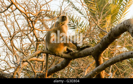 Gemeinsame oder Hanuman Langur Affe (Semnopithecus Entellus) sittingi in einem Baum, Ranthambore Nationalpark, Rajasthan, - Stockfoto