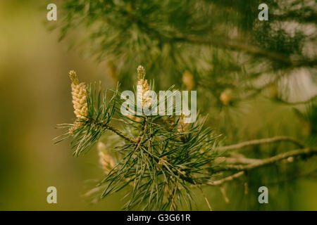 Tannenzapfen hängen an einem grünen Ast mit Nadeln - Stockfoto