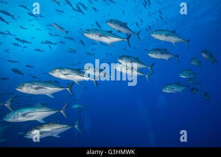 Unterwasser-Blick der School of one eyed Jacks (Caranx Sexfasciatus), San Benedicto, Colima, Mexiko - Stockfoto
