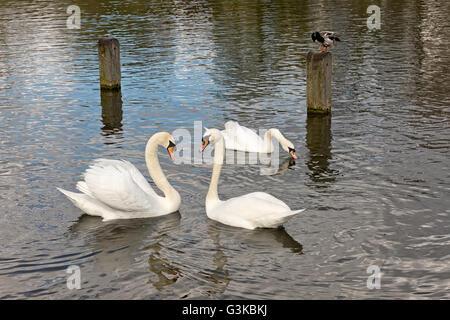 Zwei weiße Schwäne während der Balz. Schwäne sind im Wasser ein bilden eine Form eines Herzens - Stockfoto